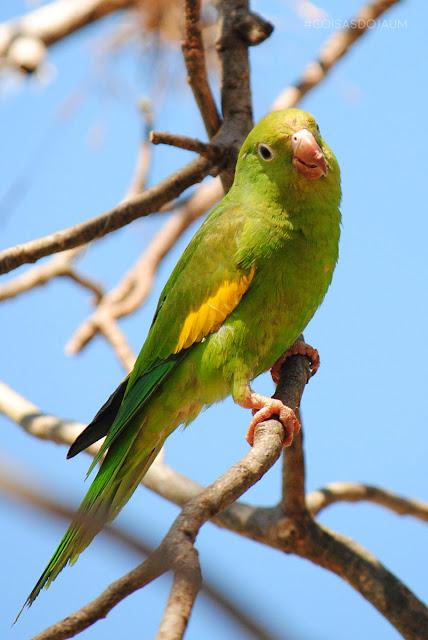 joao fabio sommerfeld, #diversidadedoparque, Parque Tecnológico de Uberaba, Maritaca, Papagaio, Paineira, Uberaba