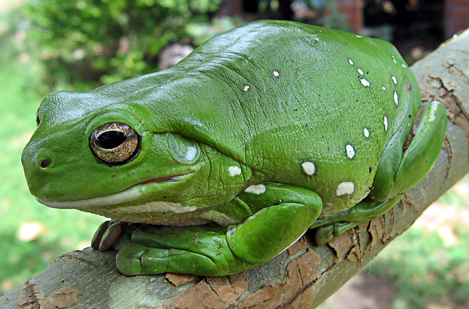 Amphibians: Magnificent tree frog
