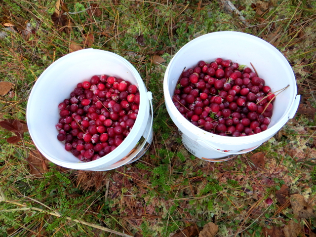 cranberry swamp