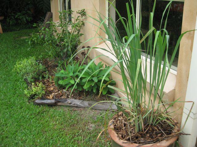 GROW FOOD slow food : Lemon Grass: Top Plants