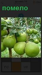 На деревьях в саду растут экзотические  плоды под названием помело, урожай которых можно собирать