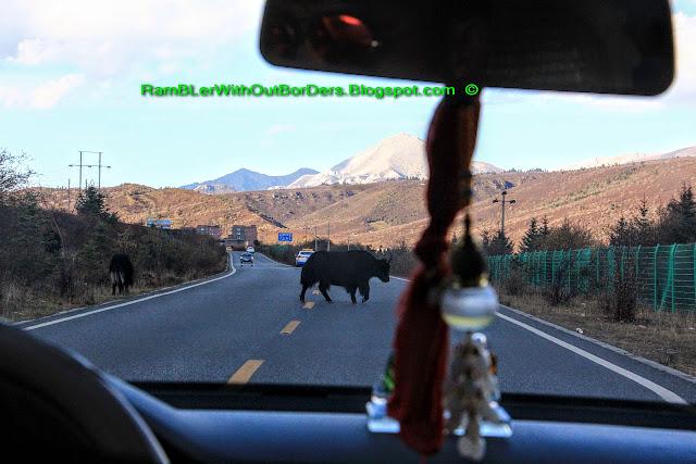 Tibetan Yak crossing the road, Sichuan, China