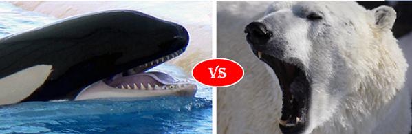 Killer whale vs Polar bear
