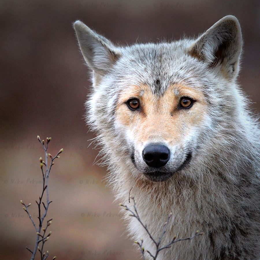 White Wolf Encounter With Heart Shaped Face In The