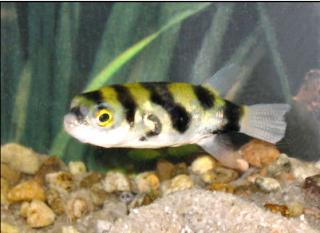 Ikan Buntal Air Tawar Amazon