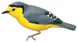 Pachycare flavogriseum