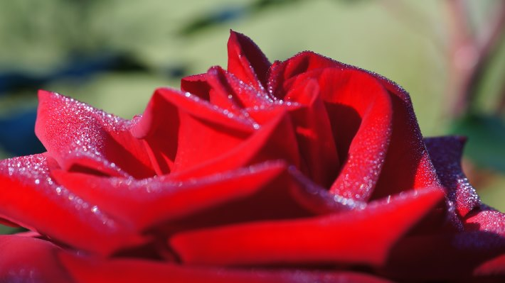 Wallpaper: Hot. Love. Macro. Flowers. Roses 2