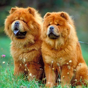 Chow Chow. My family had a Chow, Kae-See, when I was younger. What a sweetie boy!!!! I want another