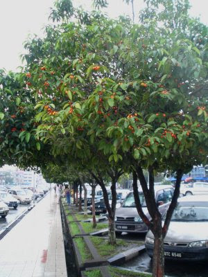http://4.bp.blogspot.com/-aI_QUwwuVrs/UYHjBChy2QI/AAAAAAAAAss/Nc3nOfqfyDw/s1600/pohon+Tanjung2.jpg