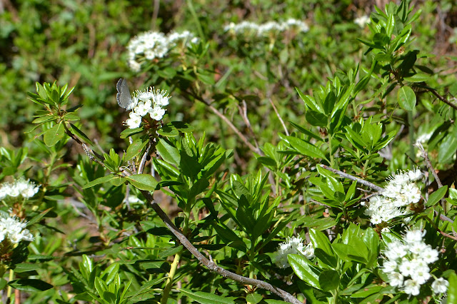 clusters of simple white flowers, one occupied by a blue butterfly
