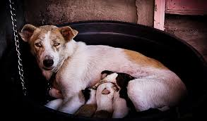 Mother instinct in dogs