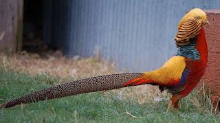 Ayam Tibet