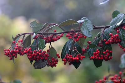 cotoneastere lacteus baies rouges