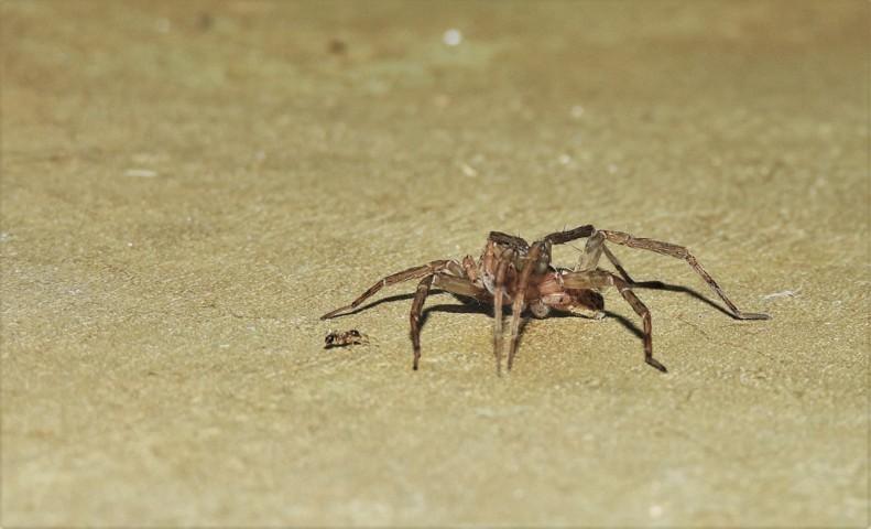 hormiga contra araña