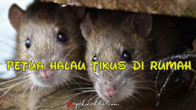 Cara halau tikus, petua halau tikus, tikus dalam rumah