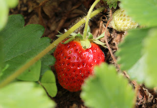 A strawberry nearly ripe for the picking