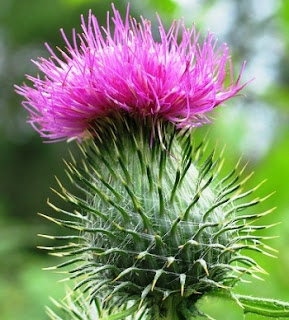 A single thistle flower