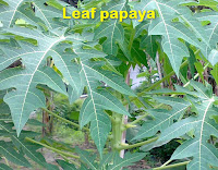 Hebs use leaf papaya