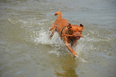 Veterinarios desaconsejan tirar un palo a tu perro para jugar