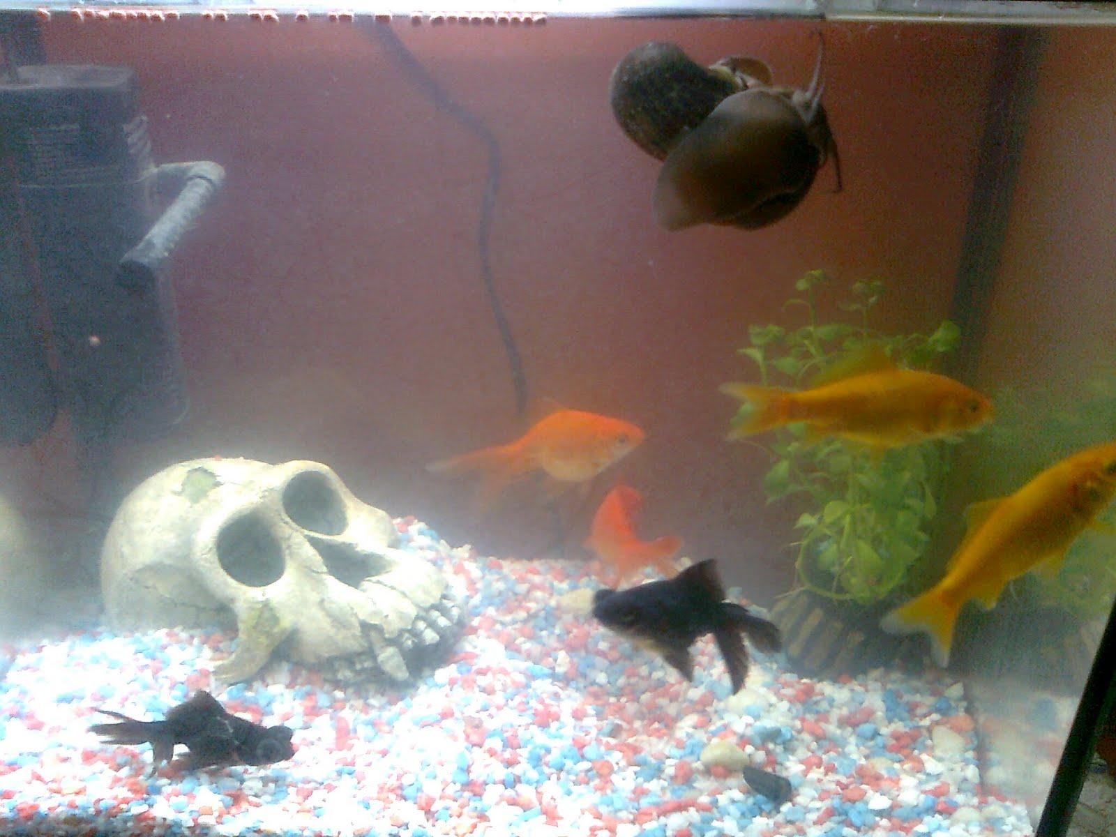 Mi primer acuario mas vivo que nunca for Carpa koi costo