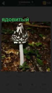 в лесу растет ядовитый гриб поганка