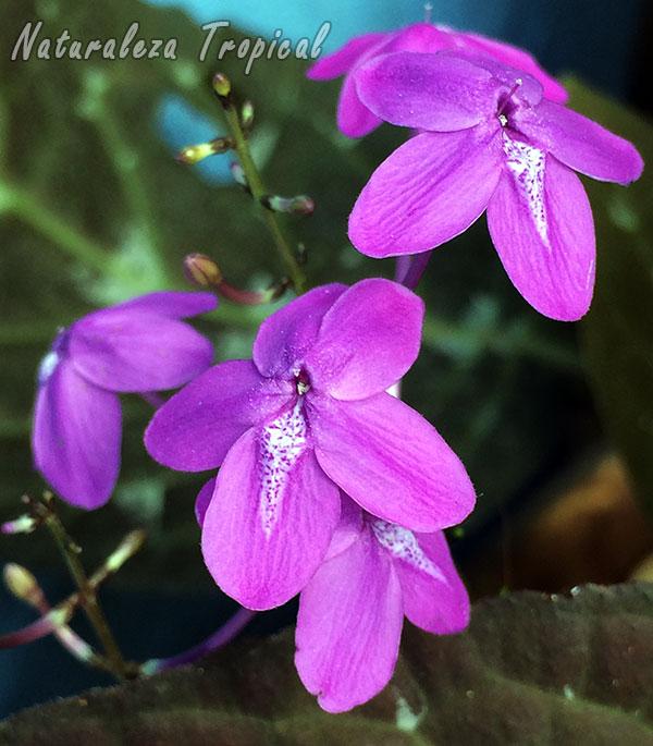 Flores de la Planta de Chocolate, Pseuderanthemum alatum