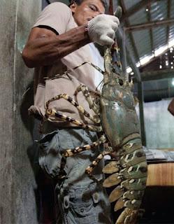 cara budidaya udang galah di aquarium,cara budidaya udang galah di kolam terpal,budidaya udang air tawar di rumah,budidaya udang galah di kolam beton,budidaya udang galah di aquarium,