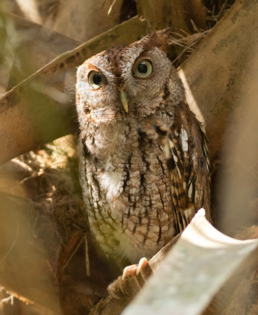 Eastern Screech Owl - Green Cay Wetlands, Florida