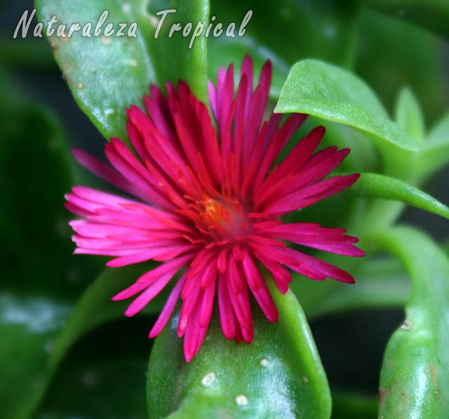 Flor característica de la planta Rocío o Escarcha, Aptenia cordifolia