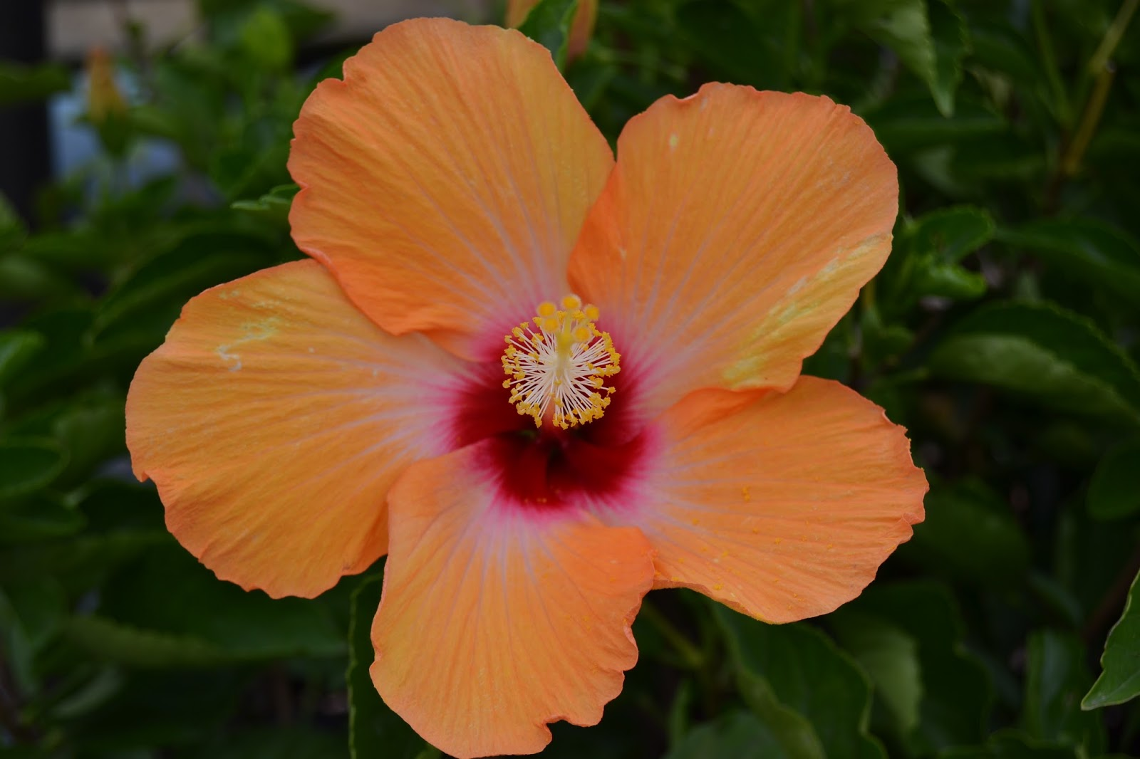 Hibiscus Gul Har Flower And Garden