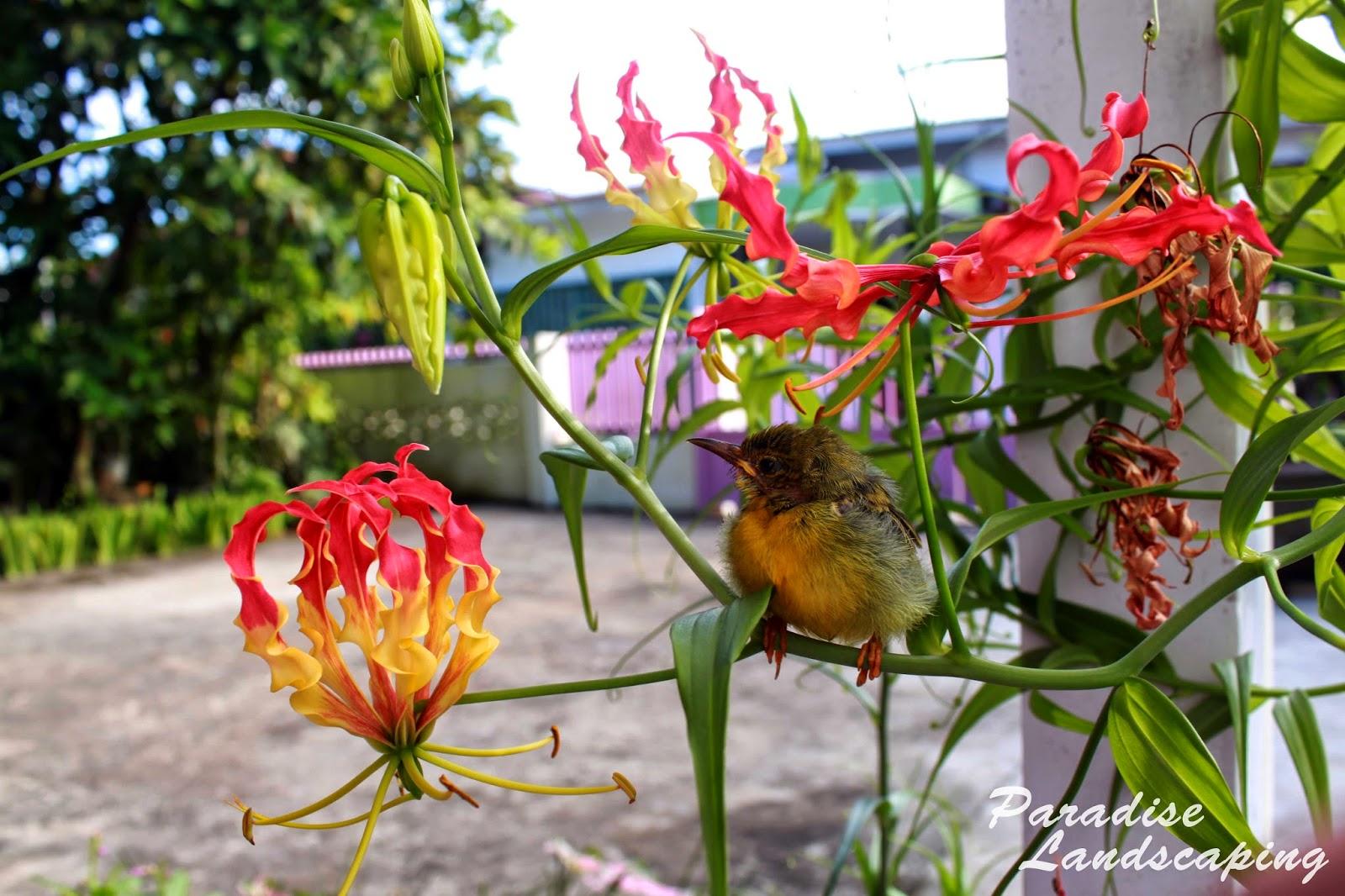 Tanaman Hias Bunga Gloriosa Superba