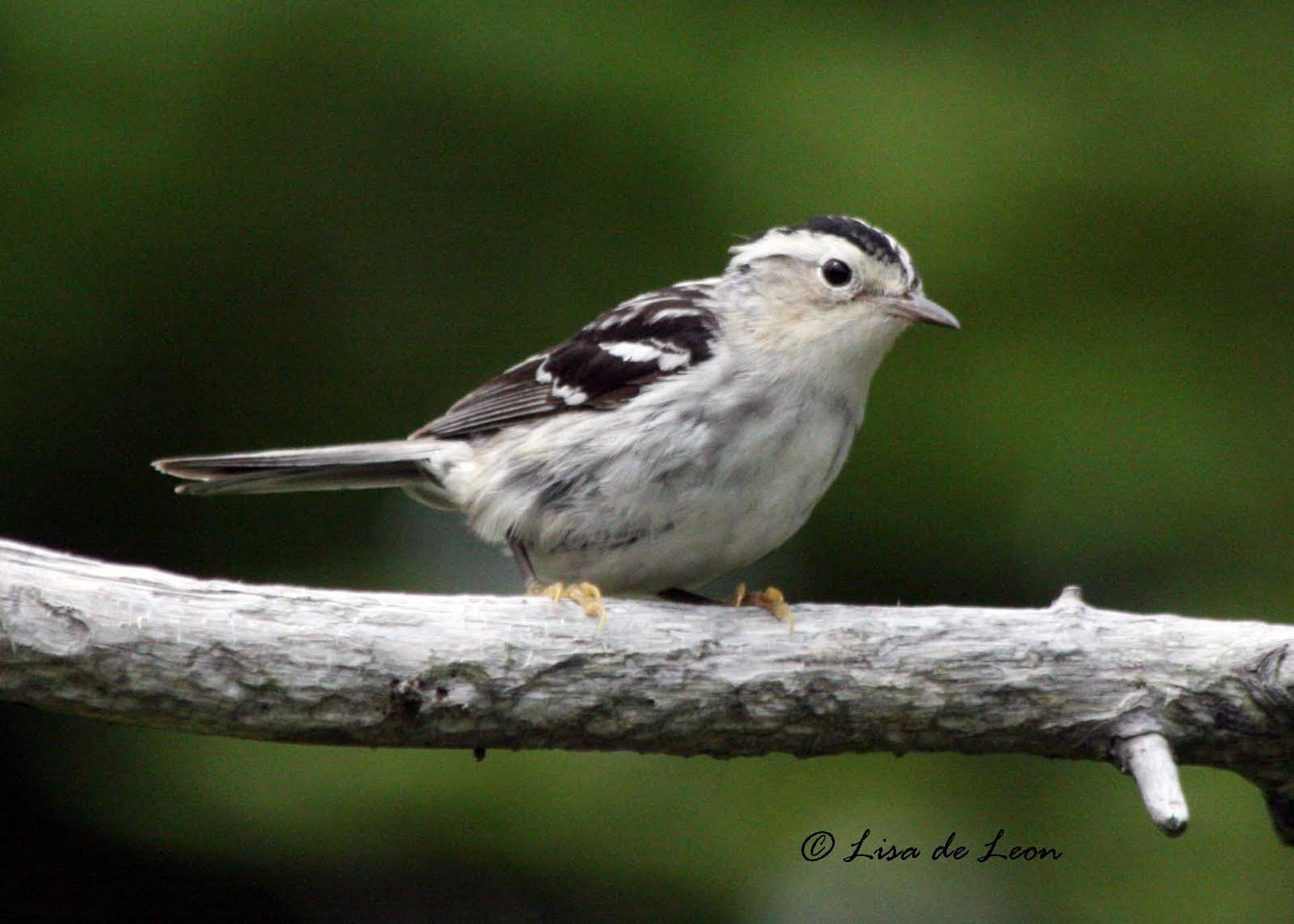 warbler female bird birds juvenile than birding leon lisa dazzling moments rare then there
