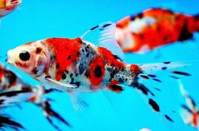 Gambar Ikan Mas Koki Shubunkin