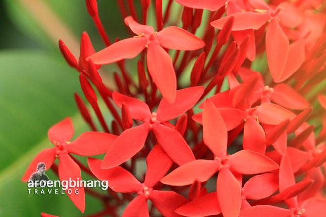 bunga cantik roong tondano minahasa sulawesi utara