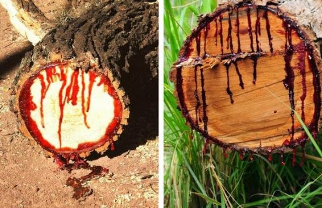 इंसानों की तरह महसूस करता है ये पेड़, काटने पर निकलता है खून