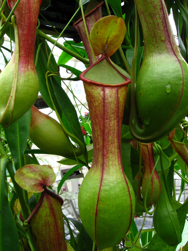 Its Greens As A Nursery We Decided To Give Them Fair Chance For Fight Back So Here They Are The Awesomely Deadly Pitcher Plants