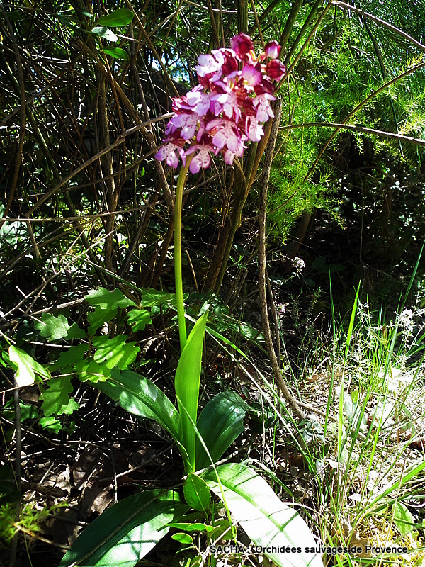 orchidee sauvage de provence