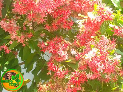 FOTO : Tanaman Melati Belanda (Chinese Honeysuckle) di rumah amang.