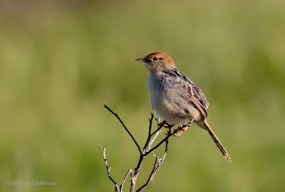 Cisticola : Table Bay Nature Reserve / Woodbridge Island