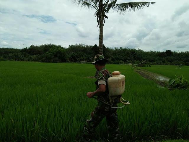 Perawatan Tanaman Padi di Desa Sei Silau Didampingi Babinsa Koramil 13/Buntu Pane