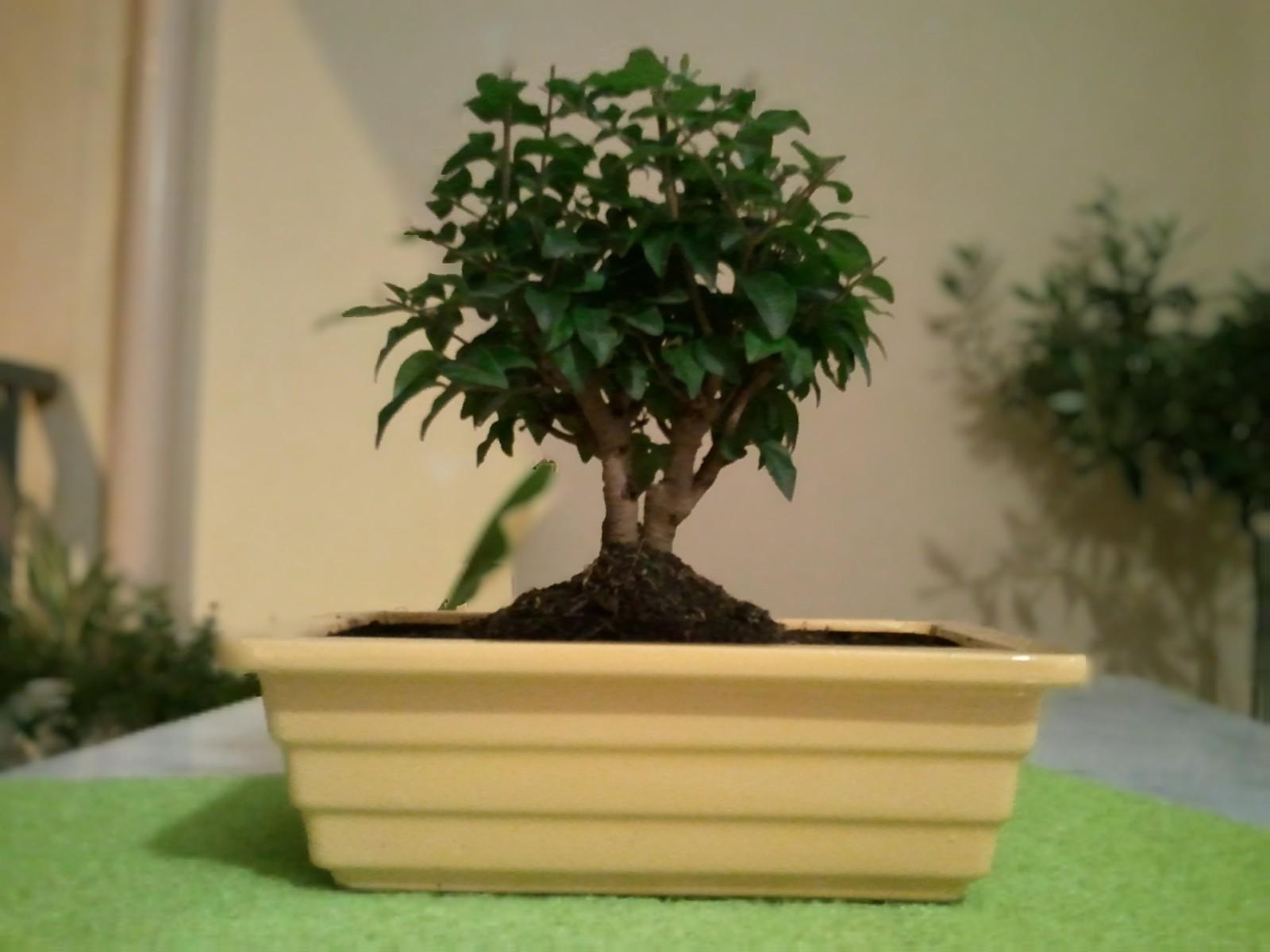 plantes et entretien nouvel arriv bonsa ligustrum. Black Bedroom Furniture Sets. Home Design Ideas