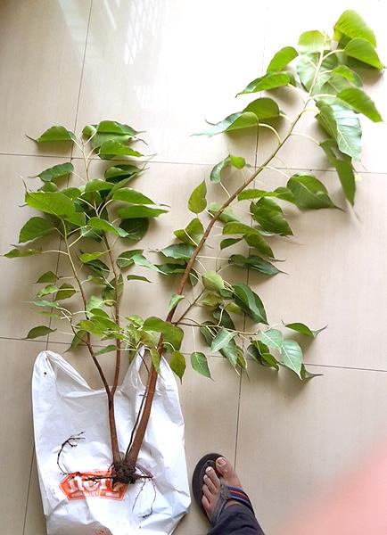 Instant Bonsai For Everyone Ficus Religiosa Peepal Tree No 1