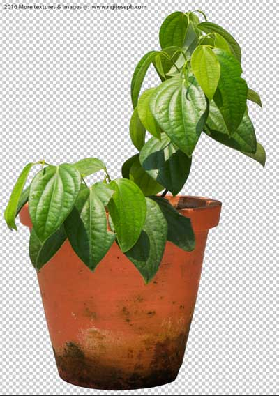 PNG Pepper Plant 00002