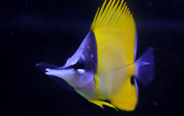 Gambar Ikan Longnose Butterflyfish - Budidaya Ikan