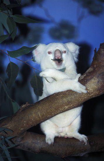 Koala | A-Z List of 125 Rare Albino Animals [Pics]