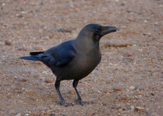 casero cuervo