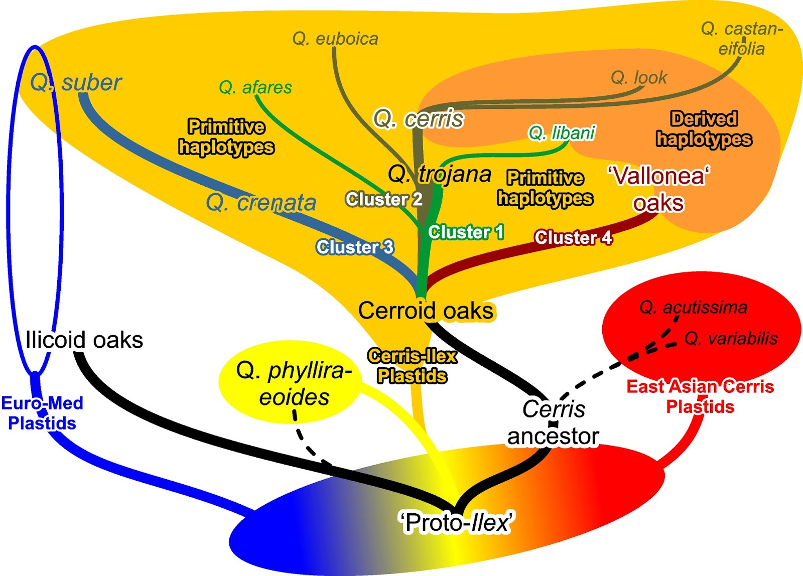 a cactus oak fusion graph depicting nuclear and plastid differentiation and evolution in quercus group cerris