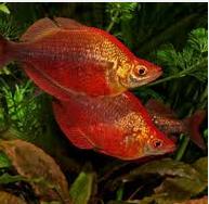 Ikan hias Air Tawar Terindah Rainbow Merah
