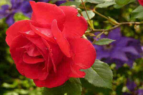 गुलाब के फूल के चौका देने वाले फायदे | benefits of rose in hindi