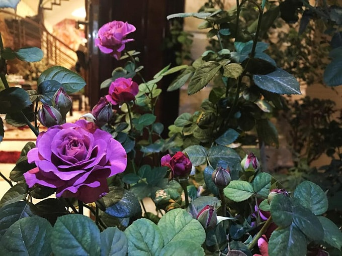 Sân vườn 50 m2 phủ kín hoa hồng của bà mẹ Hòa Bình -14